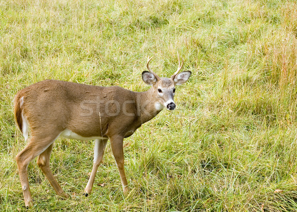 Young Whitetail Buck Stock photo © brm1949
