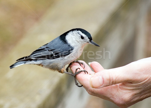Nuthatch In Hand Stock photo © brm1949