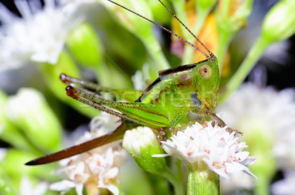 Críquete topo inseto bicho Foto stock © brm1949