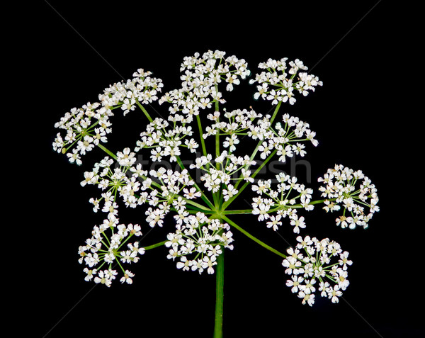Queen Anne's lace wildflower  Stock photo © brm1949