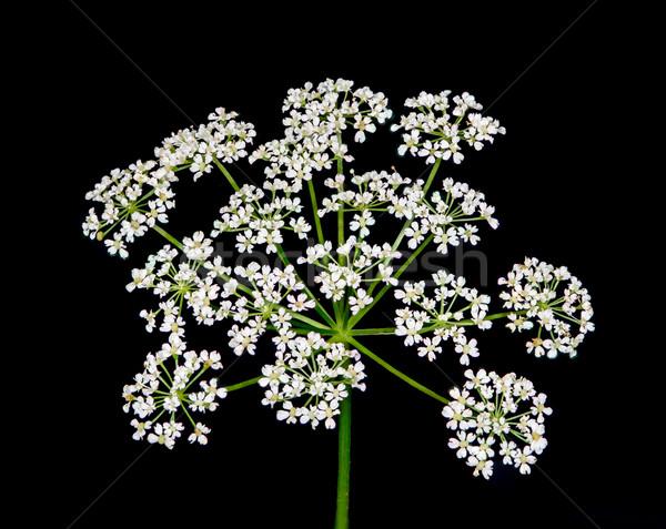 королева кружево диких цветов макроса черный Сток-фото © brm1949