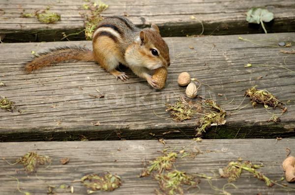 Chipmunk Eating Peanut. Stock photo © brm1949
