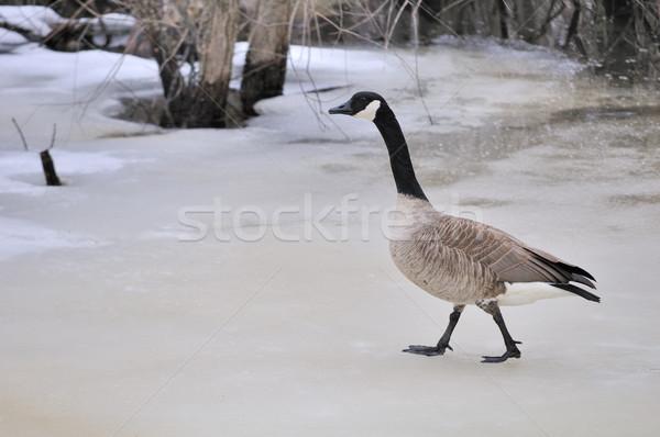 Walking Canada Goose Stock photo © brm1949