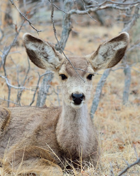 Mule Deer Yearling Stock photo © brm1949