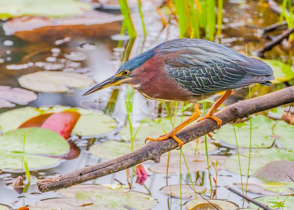 緑 鷺 池 釣り 餌食 ストックフォト © brm1949
