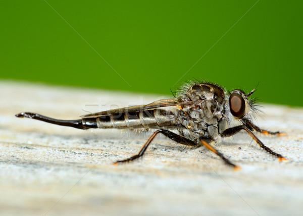 Soyguncu uçmak ahşap doğa hayvan Stok fotoğraf © brm1949