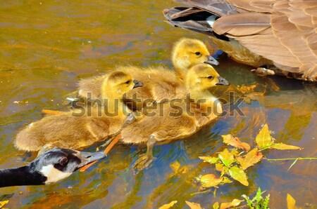 água serpente natação lagoa balança ao ar livre Foto stock © brm1949