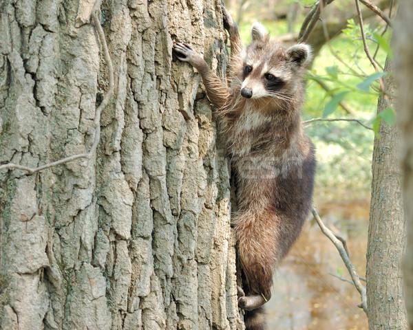 Raccoon Stock photo © brm1949