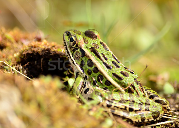 Northern Leopard Frog Stock photo © brm1949