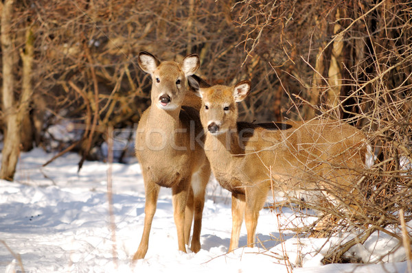 Whitetail Deer Yearling And Doe Stock photo © brm1949