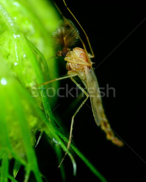 Sivrisinek bitki yaprak doğa hayvan makro Stok fotoğraf © brm1949