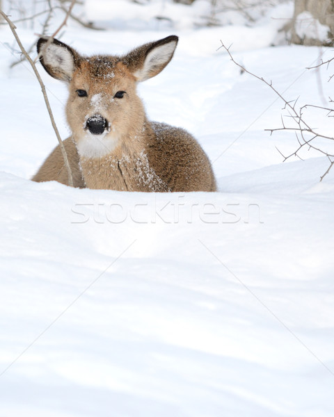 Whitetail Deer Yearling Stock photo © brm1949