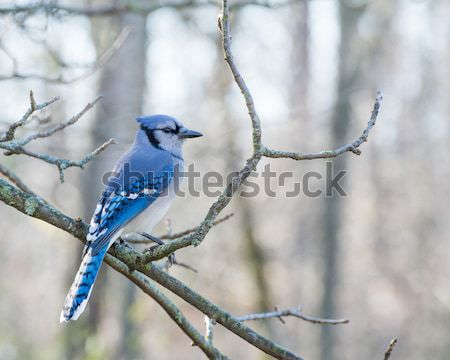 Blue jay Stock photo © brm1949