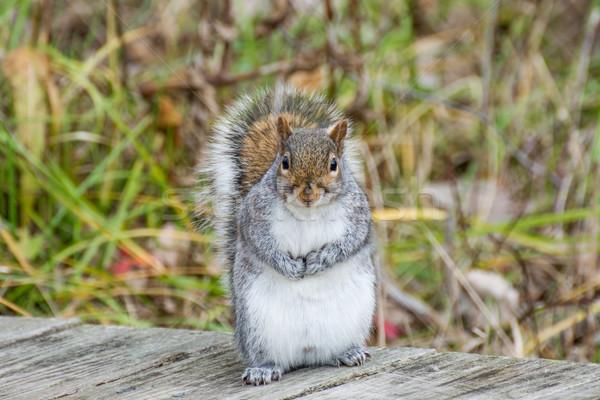 Cinza esquilo em pé cinza floresta Foto stock © brm1949