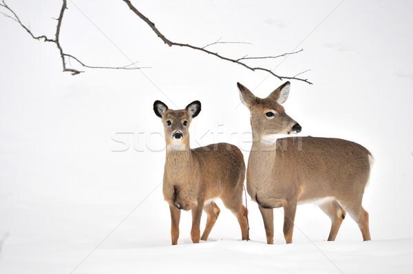 鹿 バック 立って 森 ストックフォト © brm1949