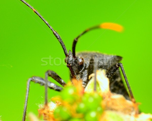 Black Stink Bug Stock photo © brm1949