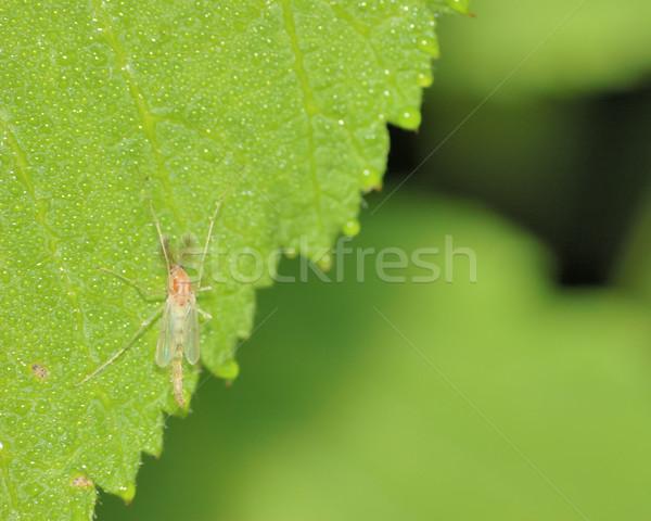 Midge On A Leaf Stock photo © brm1949