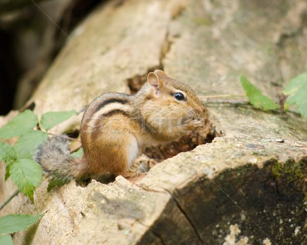 Chipmunk On A Log Stock photo © brm1949