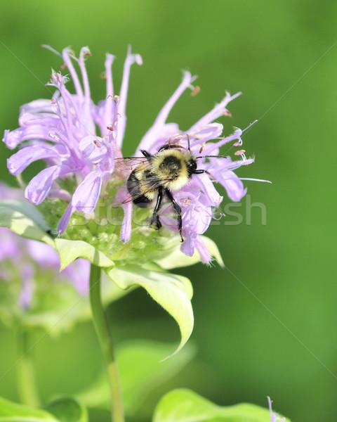Bumble Bee Stock photo © brm1949
