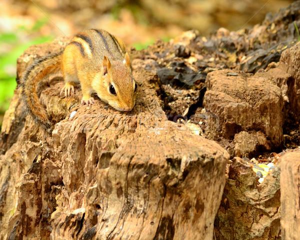 çizgili sincap oturma ağaç bakıyor gıda doğa Stok fotoğraf © brm1949