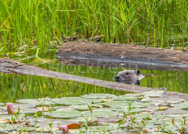 бобр плаванию пруд рано лет реке Сток-фото © brm1949