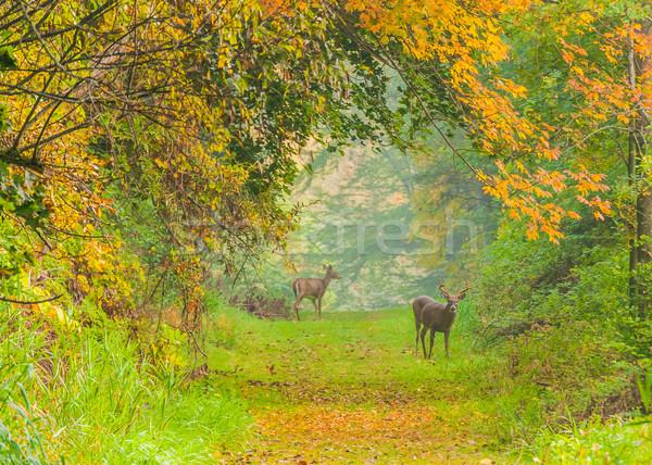 鹿 バック 立って 森 歩道 秋 ストックフォト © brm1949