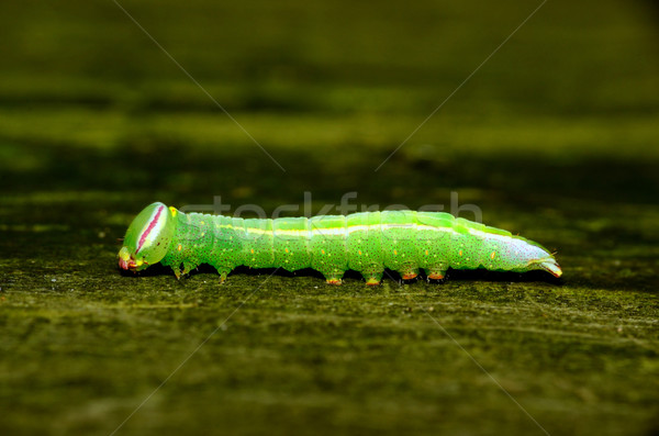 Saddled Prominent Caterpillar Stock photo © brm1949