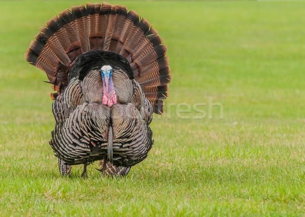 Wild Turkey  Stock photo © brm1949