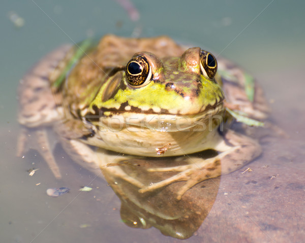 Oturma su bataklık kurbağa Stok fotoğraf © brm1949