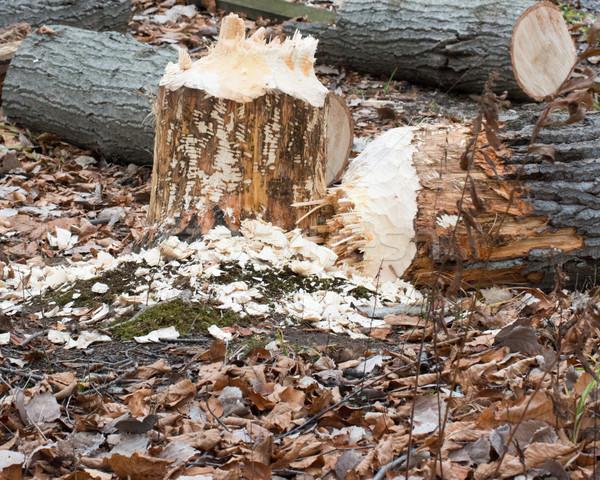 Castor arbre dommage résultats quoi occupés Photo stock © brm1949