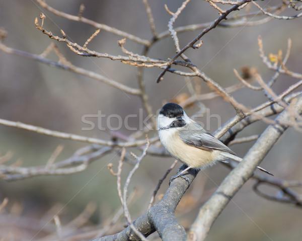 Faág természet madár állat erdő kint Stock fotó © brm1949