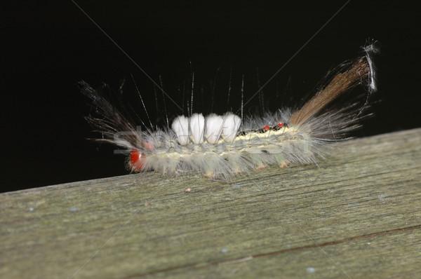 White-marked Tussock Moth Caterpillar Stock photo © brm1949