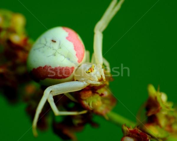 Krab spin plant wachten buit natuur Stockfoto © brm1949