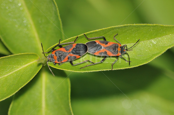 Milkweed Beetles Stock photo © brm1949