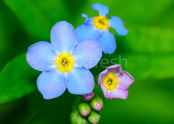 Stock fotó: Engem · nem · virág · makró · közelkép · kék