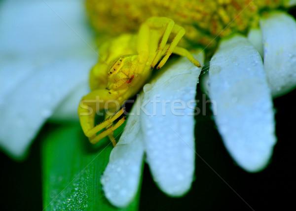 Crab Spider Stock photo © brm1949