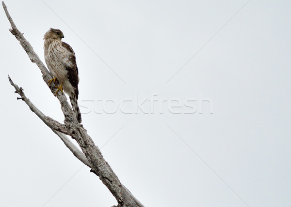 Coopers Hawk Stock photo © brm1949