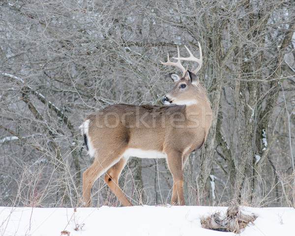 Whitetail Deer Buck Stock photo © brm1949
