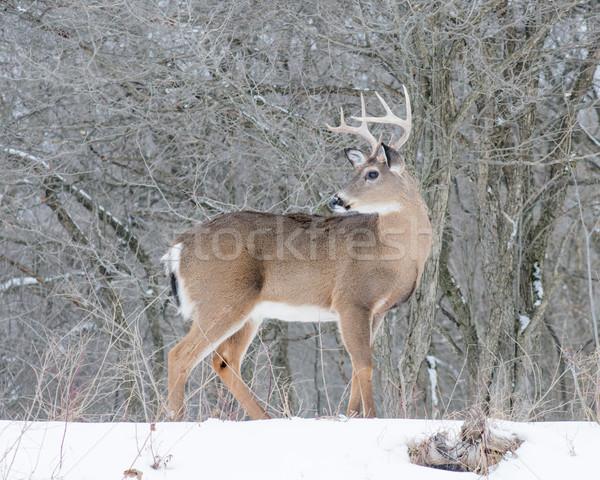 оленей доллар Постоянный снега природы трофей Сток-фото © brm1949