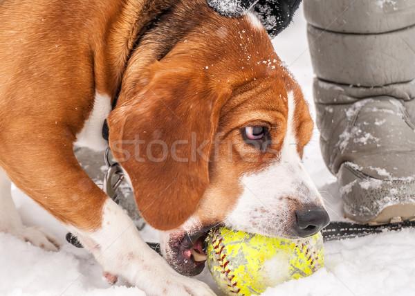 Kopó közelkép kép játszik labda hó Stock fotó © brm1949