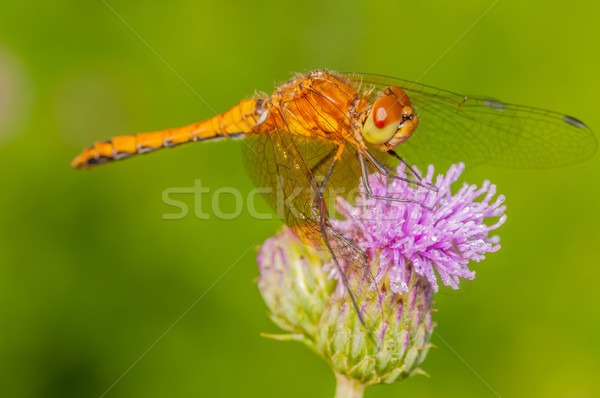 Meadowhawk Dragonfly Stock photo © brm1949
