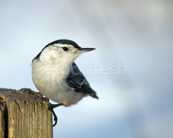 White-breasted Nuthatch On Post Stock photo © brm1949