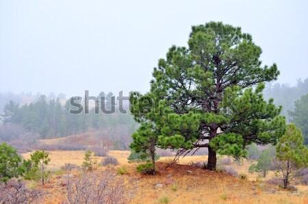 Yaprak dökmeyen Colorado ağaç orman bitki çevre Stok fotoğraf © brm1949