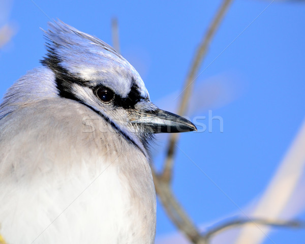 Closeup Of A Blue Jay Stock photo © brm1949