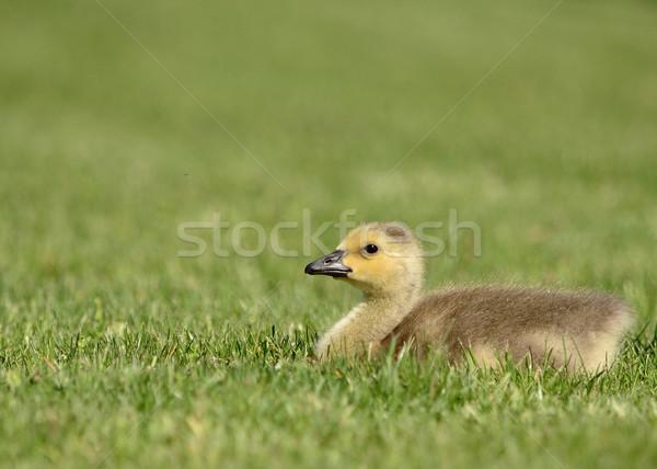 Foto stock: Canadá · ganso · sessão · grama · natureza · pássaro