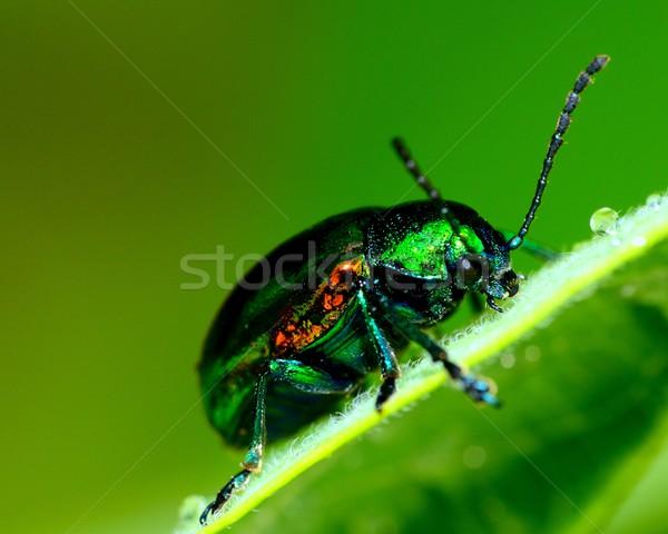 Ponderosa vert usine feuille insecte macro Photo stock © brm1949