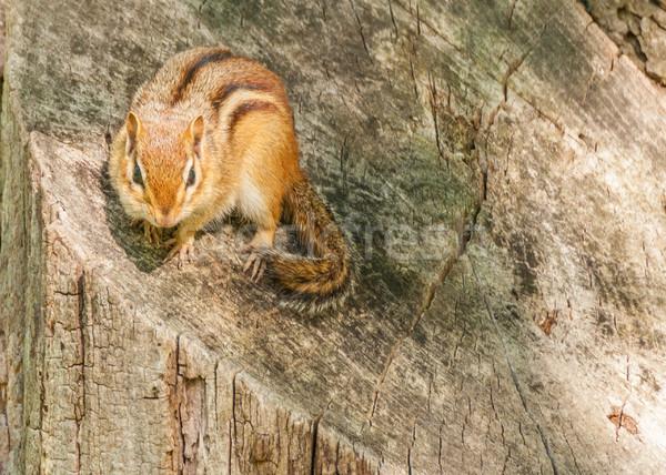 çizgili sincap ağaç hayvan yaban hayatı küçük Stok fotoğraf © brm1949