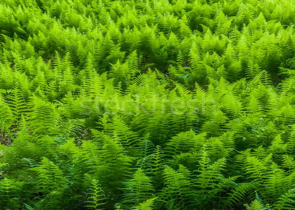 Eğrelti otları zemin orman yaz doku orman Stok fotoğraf © brm1949