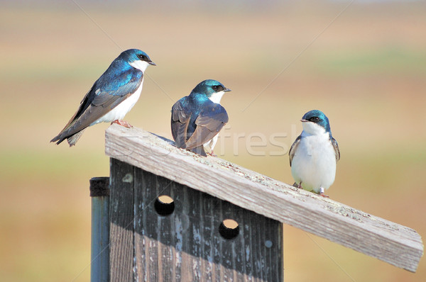 Three Tree Swallows Stock photo © brm1949
