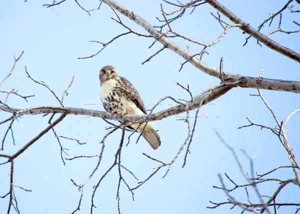 ястреб дерево природы птица Сток-фото © brm1949